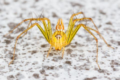 Jumping spider Stock Images