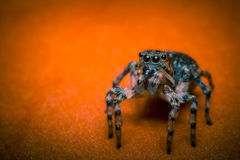 Jumping Spider Macro. Super macro close up jumping spider on orange leaf Royalty Free Stock Images