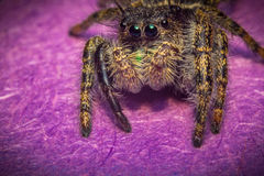 Jumping Spider Macro Stock Images
