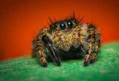 Jumping Spider Macro Stock Photography