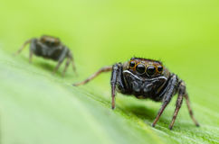 Jumping Spider Macro. Two jumping spider running over a leaves Stock Images
