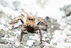 Jumping spider Male Plexippus petersi on dried moss Stock Images
