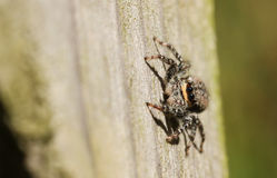 A Jumping Spider Marpissa muscosa. Stock Images