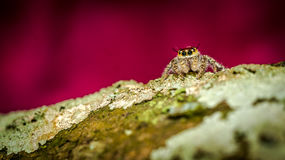 Jumping spider on the mossy trunk Stock Photo