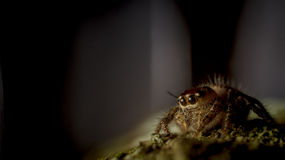 Jumping spider on the mossy trunk Royalty Free Stock Photo