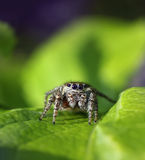Jumping spider in natural environment Royalty Free Stock Images