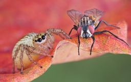 Jumping spider near fly. A jumping spider is sitting next to a fly Stock Photography
