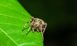 Jumping spider Neoscona vigilans waiting for prey on green leaf Royalty Free Stock Images