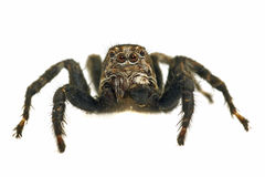Free Jumping Spider On White Background Royalty Free Stock Photography - 11513907