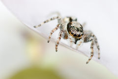 Jumping spider on petal Stock Photos