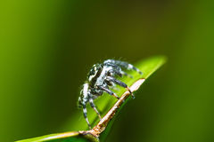 Jumping Spider Phaeacius malayensis waiting for prey on green leaf Stock Photo