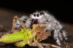 Jumping spider (Phidippus regius) from Antillean islands. Jumping spider from Antillean islands Royalty Free Stock Photo