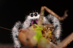 Jumping spider (Phidippus regius) from Antillean islands. Jumping spider from Antillean islands Royalty Free Stock Images