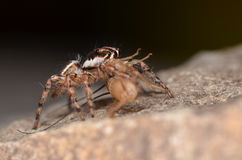 Jumping spider (Phidippus regius) from Antillean islands. Jumping spider from Antillean islands Stock Images