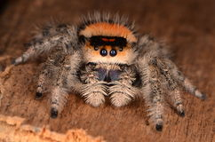 Jumping spider Phidippus regius. Gig jumping spider on the wood Stock Photo