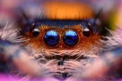 Jumping spider Phidippus regius   Royalty Free Stock Image