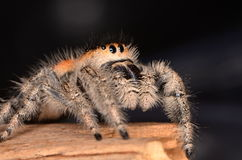 Jumping spider Phidippus regius. In nature Royalty Free Stock Images