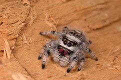 Jumping spider Phidippus regius. On wood Stock Photo