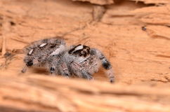 Jumping spider Phidippus regius. On wood Stock Image