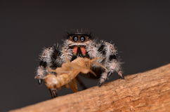 Jumping spider Phidippus regius. On wood Royalty Free Stock Photo
