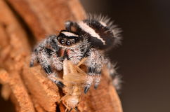 Jumping spider Phidippus regius. On wood Stock Photography