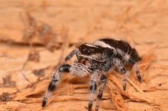 Jumping spider Phidippus regius Stock Photo