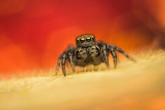 Jumping spider (Phlegra fasciata). Phlegra fasciata female jumping spider from Salticidae family of spiders on a leaf with colorful background Royalty Free Stock Image