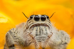 Jumping spider Stock Photography