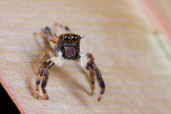 A jumping spider on a pinkish leaf Stock Photography