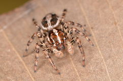 Jumping spider Plexippus Royalty Free Stock Photography