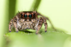 Jumping spider portrait Stock Images
