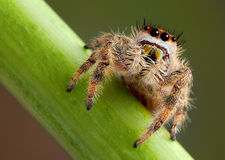 Jumping Spider portrait Stock Photo
