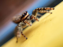Jumping spider. Poses Royalty Free Stock Photography