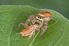 Jumping spider with prey. A tiny jumping spider has caught a cricket and is eating it while sitting on a leaf royalty free stock photography