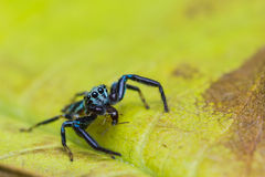 Jumping Spider and prey Royalty Free Stock Images