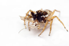 Jumping spider & prey Stock Image