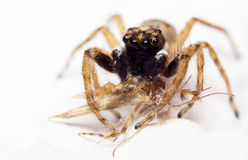Jumping spider & prey Royalty Free Stock Photography