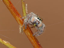 Jumping Spider with Prey Stock Photo