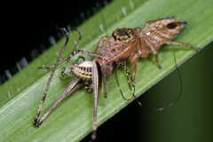Jumping spider with prey - a cricket Stock Photo