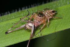 Jumping spider with prey - a cricket Royalty Free Stock Image