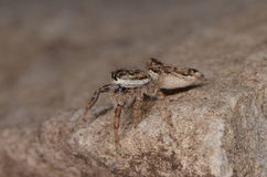 Jumping spider (Pseudicius encarpatus). In nature Royalty Free Stock Photography