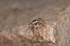 Jumping spider (Pseudicius encarpatus). In nature Royalty Free Stock Photos