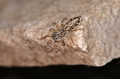 Jumping spider (Pseudicius encarpatus). In nature Stock Photography