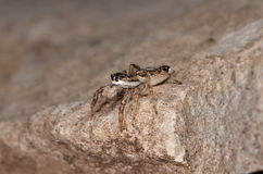 Jumping spider (Pseudicius encarpatus). In nature Royalty Free Stock Image