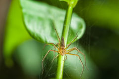 Jumping spider in the rain forest Thailand. Jumping spider in the rain forest Stock Images