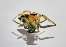 Jumping Spider on reflective surface Royalty Free Stock Photography