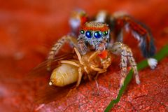 Jumping spider Saitis barbipes with fruit fly. Spanish jumping spider Saitis barbipes with fruit fly Stock Photo