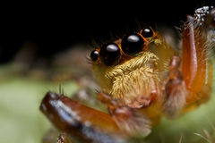 Jumping spider Salticidae Stock Images
