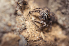 Jumping Spider Salticidae Royalty Free Stock Image
