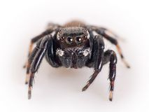 Jumping spider, Salticidae - macro Royalty Free Stock Image